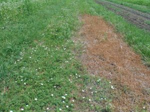 Roller/crimped bed showing bindweed and organic herbicide test patch