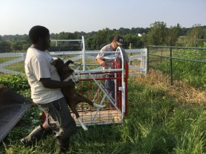 Weighing goats, Drumm Farm, 9/01/15 before the first grazing