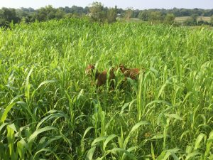 9/1/15, Goats in first graze of cover crops