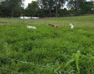 08/12/16,Hallar Farm, deep cover crops of 3rd graze.  4th cover crop mix broadcast so goats would trample it in.