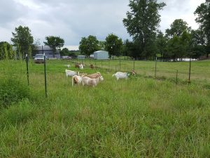 8/12/16, Hallar Farm, goats on grass test plot
