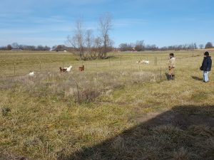 Final day of grazing 12/15/16, Hallar Farm, weigh out day!
