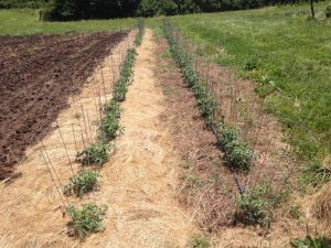 Hay mulch on left, rolled cover crop on right, June 28