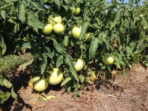 Fruit set on hay mulched tomatoes, August 16