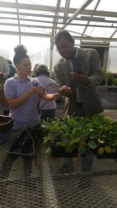 Instructors at SU 2016 Fall Garden Workshop prepare fig cuttings to be propagated by the attendees.