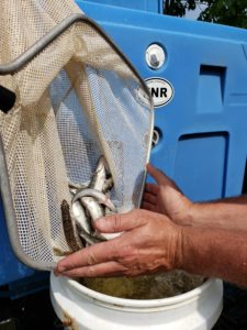 netting of walleye