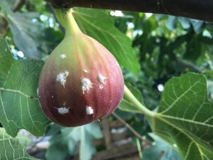 Beautiful Fig infested with Mealy bugs
