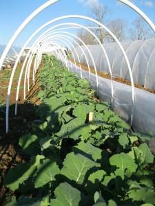 Broccoli UNH Tunnel