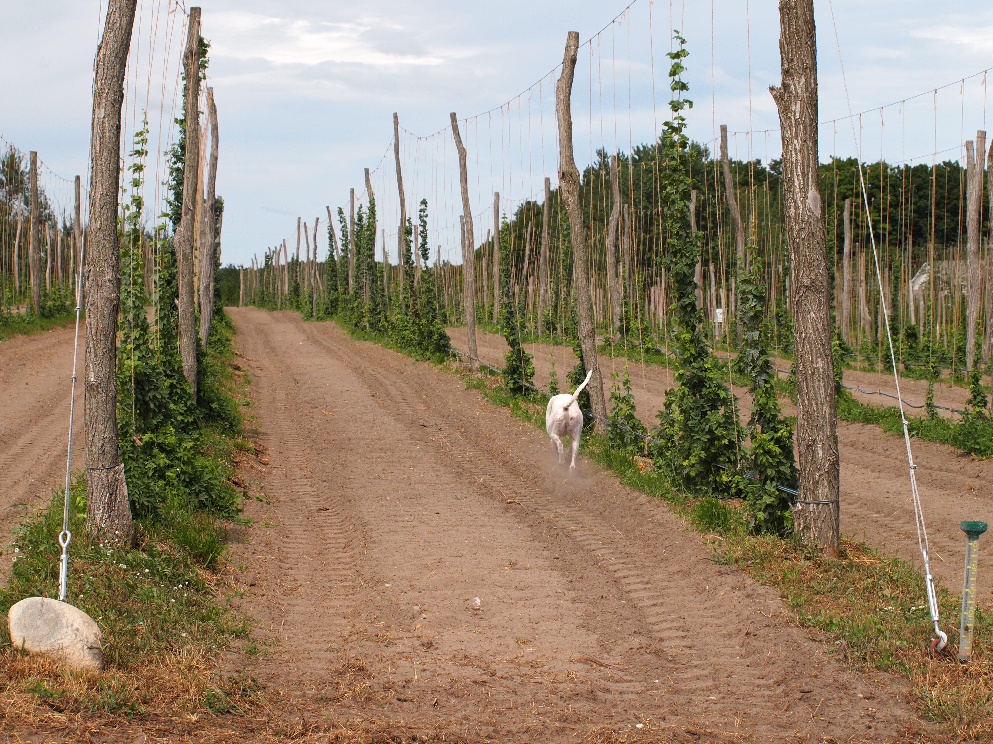 Meeting The Growing Demand For Organic Hops Low Trellis