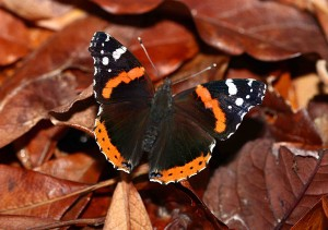 Photo 14: The Red Admiral butterfly uses stinging nettles as caterpillar host plants