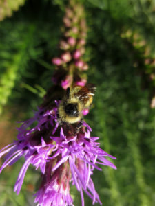 Liatris attracts pollinators.