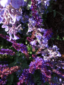 Catmint and salvia