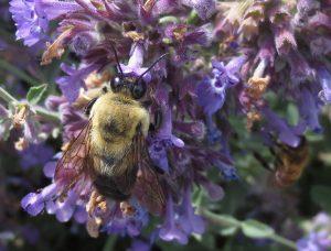 Catmint attracts more pollinators per square inch!