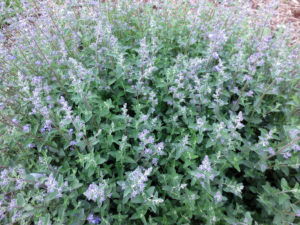 Healthy catmint plants.