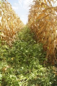 An example of a cover crop leveraging added available sunlight.