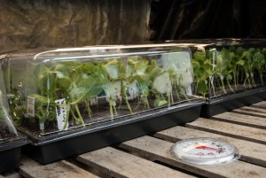 Once grafted, cover with humidity dome move immediately to the grafting chamber.