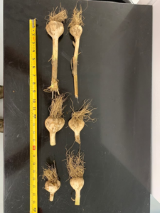 Garlic bulb size and stem lenghts in various samples