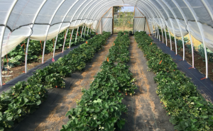 Picture showing three rows of strawberries planted in a high tunnel