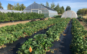 Picture showing raspberry and strawberry high tunnels in the background, and outdoor strawberry planting in the foreground