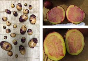 Figure 2: Potato selections by farmer participants from  breeding populations: left,  Huckleberry x Red Endeavor F1; right, two Huckleberry x Picasso F1  lines.