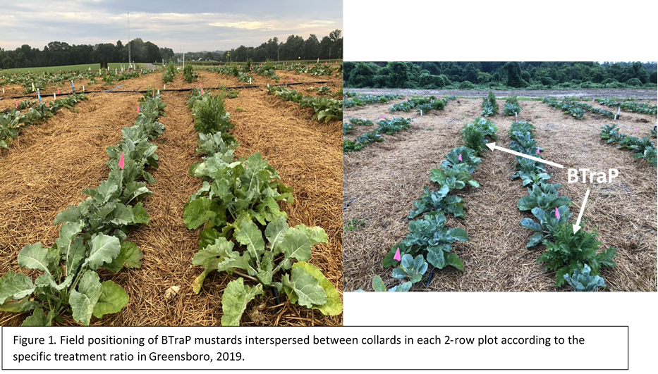 Field design showing an example of mustard trap placement.among collards.
