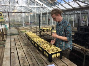 Working at a greenhouse bench, a lab technician pipettes clubroot innoculum into cone tubes containing seedling brassicas.