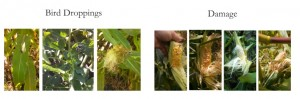Figure 2. An example of bird droppings on sweet corn and the damage caused by bird feeding. Photo credit Darcy Telenko.