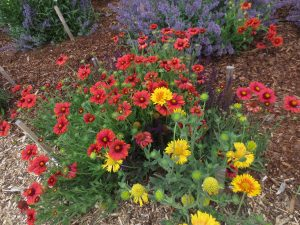 Gaillardia with salvia.