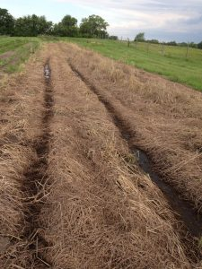 Rolling rye/vetch in June 2015