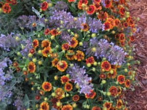 Catmint and helenium