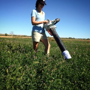 Figure 2. A leaf blower put in reverse with a mesh bag secured over the intake to collect insects. Here used to vacuum sample an alfalfa plot.
