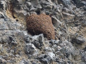 Pictures of a feral honey bee colony in Wenatchee, WA (2016) that according to the photographer, has been in existence prior to 2001 (Photos courtesy: Chris Church, 2016).