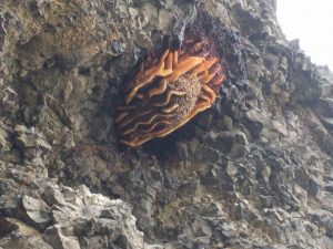 Picture of a feral honey bee colony in Wenatchee, WA (2016) that according to the photographer, has been in existence prior to 2001 (Photos courtesy: Chris Church, 2016).