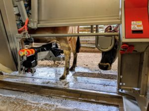 A Jersey cow waits as her colleague is milked by a Lely Astronaut robotic milk machine.
