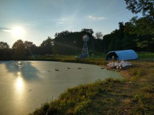 ducks on pond in july