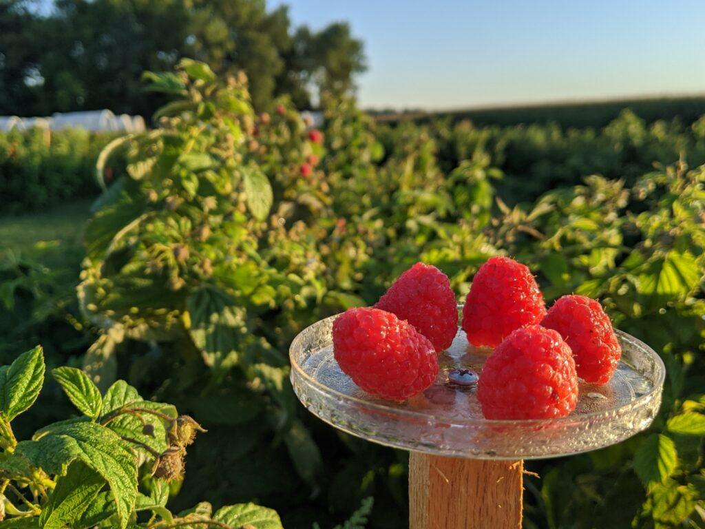 Raspberry fruit in the field