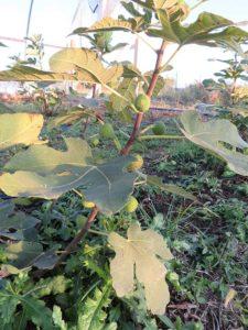 Unripe fig fruit