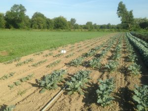 Broccoli Plots at ICF. 6/10 planting on right, 6/21 on left.
