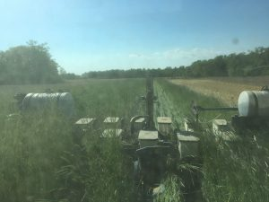 Planting corn into rye back