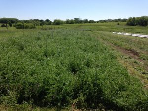 May 2016 mainly vetch cover crop