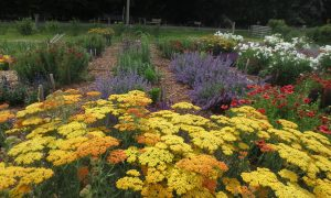 Blooming pollinator plants