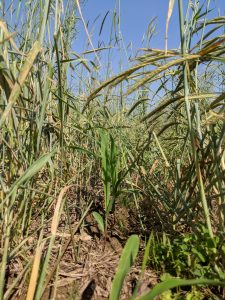 Corn in killed rye