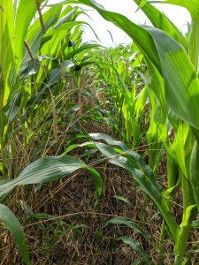 Rye residue in corn