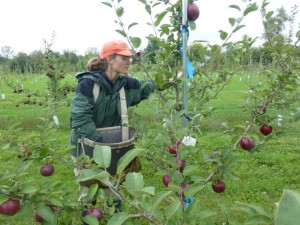 Molly Klepack harvests fruit from SARE ARD research orchard.