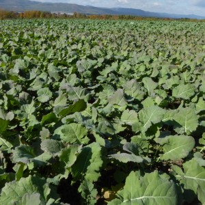 Brassicas like canola are a commonly-grown cover crop to mitigate ARD, but they are not effective to use after an orchard has been planted.