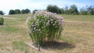 Wild bergamot in full bloom at NWMHRC July 29, 2016.  Note the senesced grass indicating the dry soil conditions and wild bergamot's relative drought resistance.