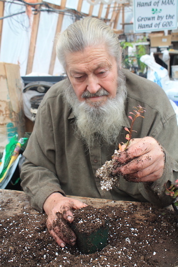 Planting rooted blueberry cuttings in the fall