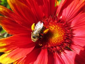 Happy bee loaded with pollen.