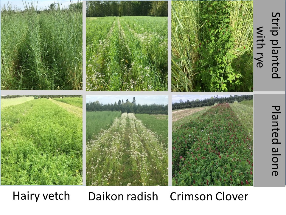 Hairy vetch, daikon radish, and crimson clover planted alone or in strips with Aroostook rye.