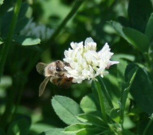 Honeybee on white clover flower